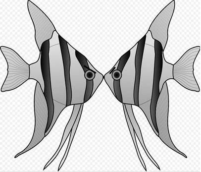 喧嘩で噛み合うエンゼルフィッシュの模式図