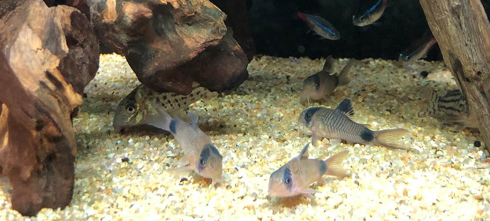 【コリドラス繁殖】失敗事例と成功のポイントを紹介-産卵から稚魚育成-