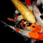 熱帯魚を混泳させるメリットとデメリットについて