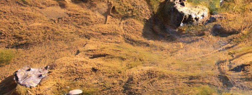 茶色い珪藻の写真