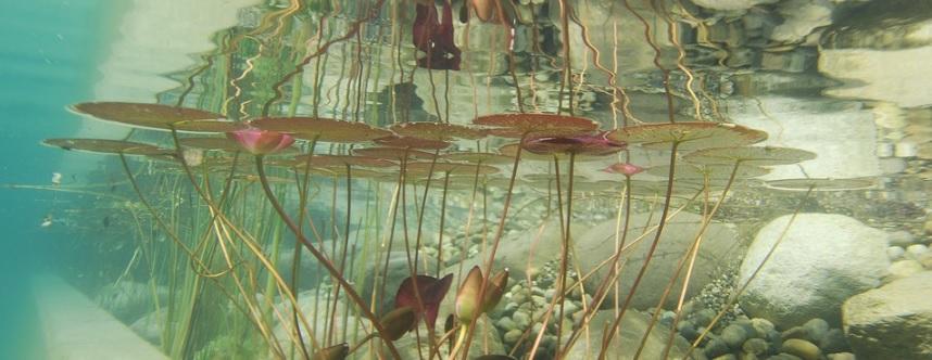 水上に浮かぶ水草