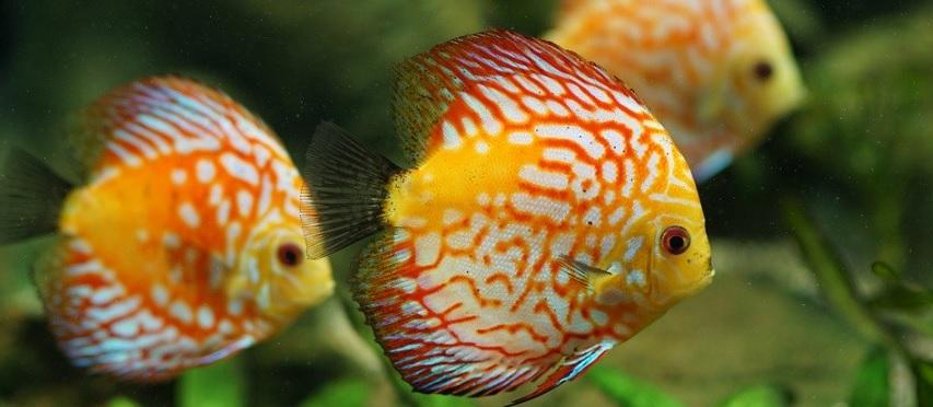 熱帯魚の王様であるディスカス