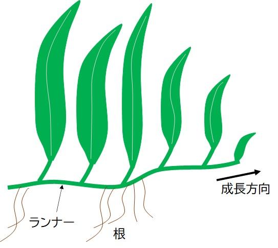 ミクロソリウムの成長過程を示す模式図