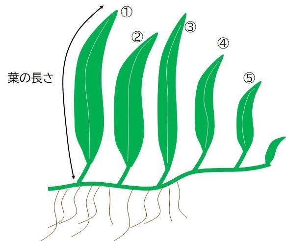 ミクロソリウムの葉の長さの測定法