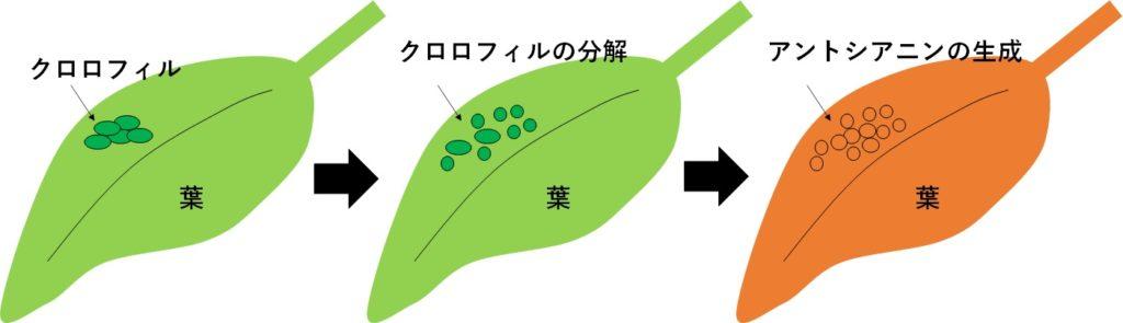 葉が赤く染まる原理を説明する図