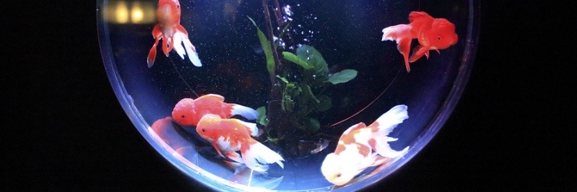 水槽の中を泳ぐ金魚