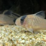 【繁殖に挑戦】コリドラスの産卵準備から稚魚の飼育方法を解説
