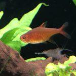 【熱帯魚の色揚げ】VIBRA BITESを使ってレッドテトラを色揚げした実例