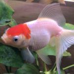 美しく可愛い金魚「丹頂」の特徴・性格を詳しく紹介