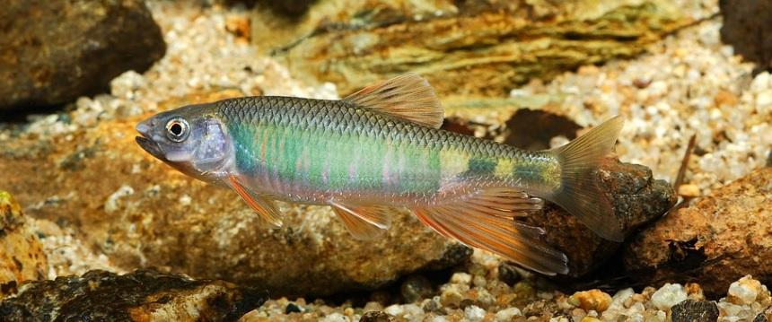 日本の川魚の中でも美しさがトップレベルのオイカワ