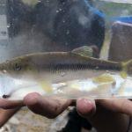 神戸の六甲川で川遊びと川魚捕りを楽しもう!