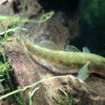 川や池で捕まえてきた魚が餌を食べない問題を解決する