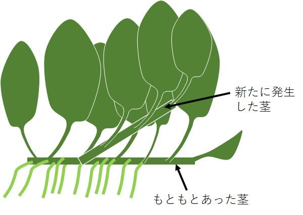 アヌビアス・ナナの成長過程の図