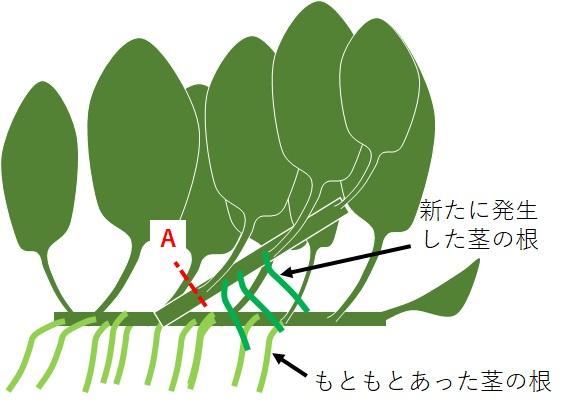 アヌビアス・ナナの根の発生状況の絵