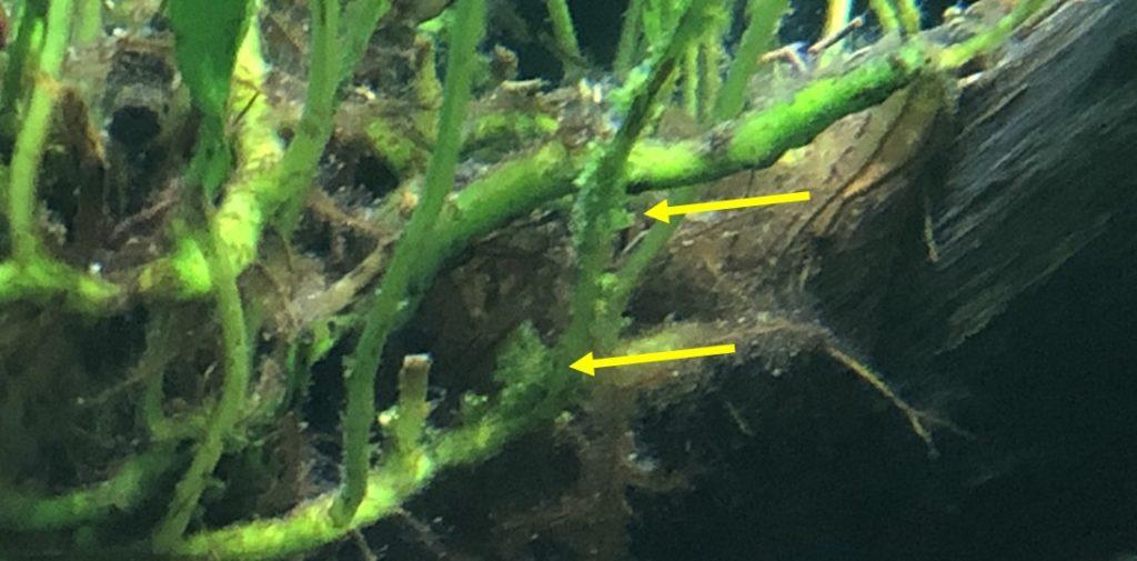 ミクロソリウムの茎に発生したブツブツ病