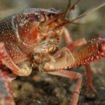 ザリガニが特定外来生物指定で2020年11月から飼育出来なくなる