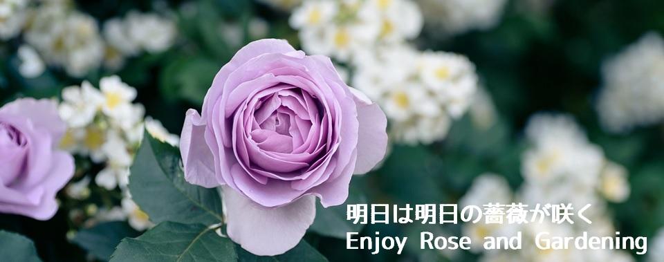 明日は明日の薔薇が咲く