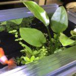 アクアフランジで水面から葉が出る水草レイアウト(魚の飛び出しも防止)