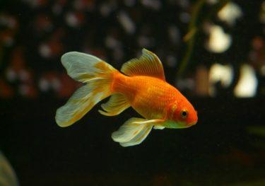 金魚のヒレが傷付く原因とは?飼育環境で改善可能