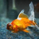 金魚水槽のpH測定を行い換水頻度を提案