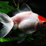 金魚にお勧めの餌「プロリア」 -色揚げ・コケ抑制・水質安定-