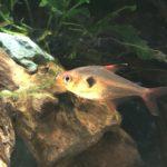 【熱帯魚】レッドファントムを色揚げで鮮やかな赤色にした実例と方法の紹介