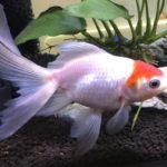 金魚の成長速度を実測した結果 -丹頂と琉金-