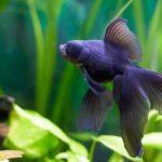 体格の異なる金魚は混泳に注意!餌の管理が原因で転覆病に…
