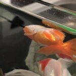 金魚がひっくり返る「転覆状態」を防ぐ -餌やりの改善の実例-