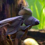 金魚の松かさ病の症例と原因の考察