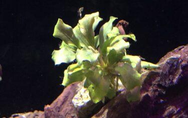 葉が溶けたブセファランドラも茎さえ残れば回復可能