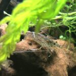 ヤマトヌマエビは水草を食害する?実は食害では無く清掃です