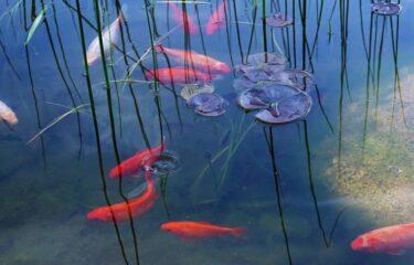 屋外での金魚・メダカ飼育は餌やりに注意が必要 -水温と消化能力の関係-