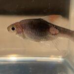 魚の鱗が剥がれる「穴あき病」を塩水浴で治療 -ラスボラの治療実例-