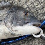 【アジュール舞子】チヌ (黒鯛) をフカセ釣りで狙う!実際の釣果も紹介